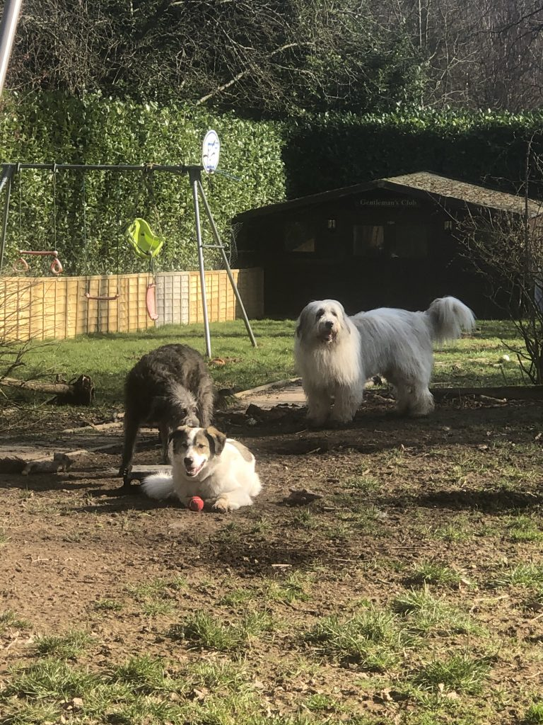 This is a photo of 3 rescue dogs in the back garden, playing