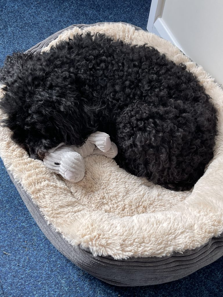 This is a photo of a toy poodle curled up in a basket